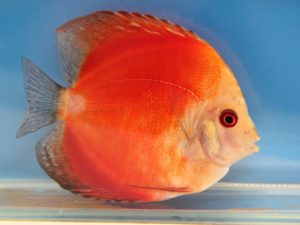 Discus solid fire red 8cm