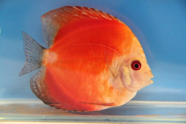 Discus solid fire red