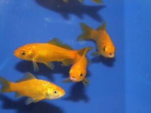 Gele goudvis 07-10cm