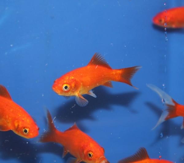 Poissons rouge disponible chez siervissen for Prix poisson rouge 15 cm