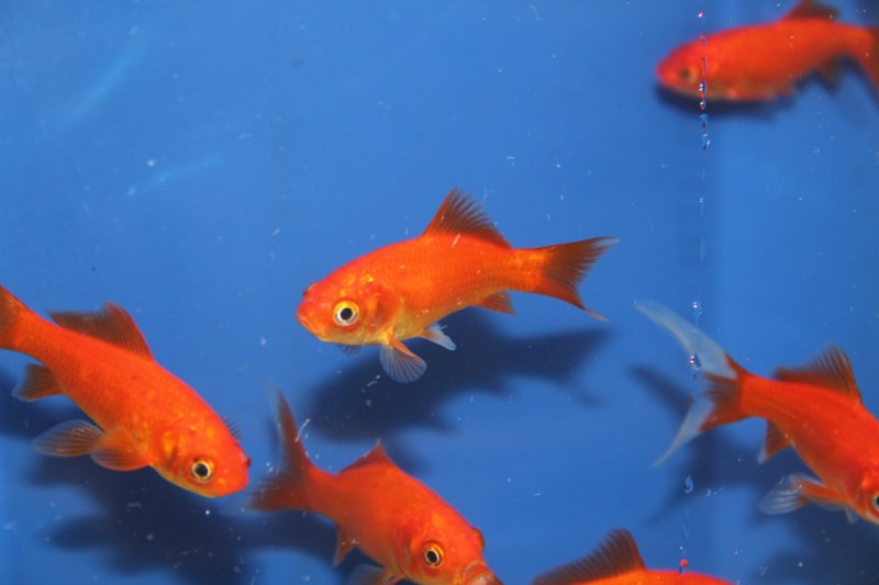 Com te rouge 12 15cm siervissen online shop for Prix poisson rouge 15 cm