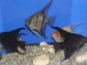 Maanvis mix 6-8cm lot van 12 vissen