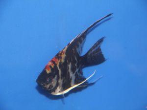 Scalaire tricolor 6-8cm