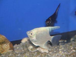 Maanvis wit 6-8cm lot van 2 vissen