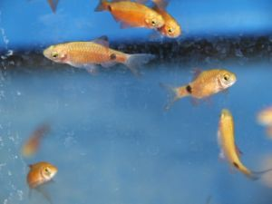 Rosy barb (red) 3-4cm