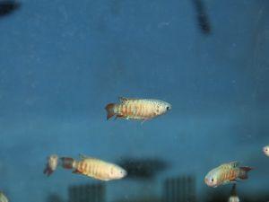 Blue Paradise Fish 3-4cm