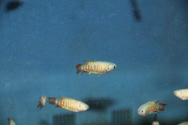 blue paradise fish