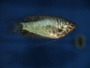 Gourami cosby blue 8-10cm
