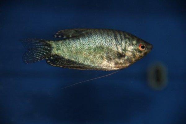 gourami blue