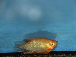Gourami golden pearl 8-10cm
