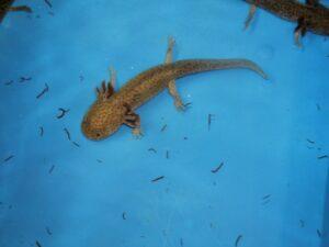 Axolotl bruin 5-10cm