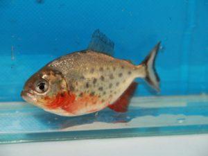 Rode piranha 8-10cm