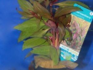 Alternanthera rosaefolia potje 5cm