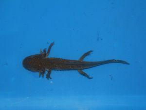 Axolotl bruin 15-18cm