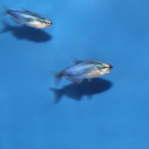blauwe konings tetra