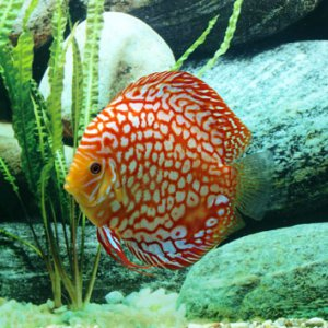 Checkerboard discus
