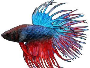 Kempvis man crowntail paars