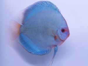 Discus Blue Diamond 5-7cm