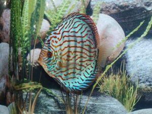 Discus Brilliant Turquoise 5-7cm