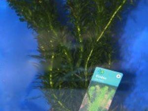 Elodea Densa – plante d'oxygène