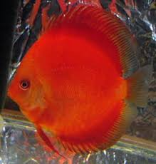 Discus full red