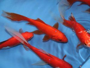 Goudvis rood komeetstaart 14-16cm partij van 6 vissen