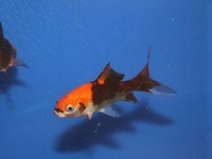 Goudvis rood-zwart 7-10cm