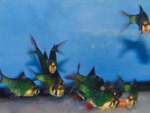 Barbus de Sumatra vert 3-4cm