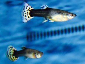 Gup vrouw mix 3-4cm lot van 2 visjes