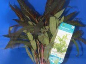 Hygrophila Angustifolia Rubra potje 5cm