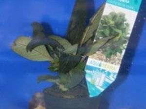 Hygrophila Compacta mini potje 5cm