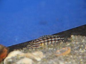 Julidochromis marlieri 4-6cm