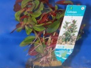 Ludwigia Repens diamond red potje 5cm