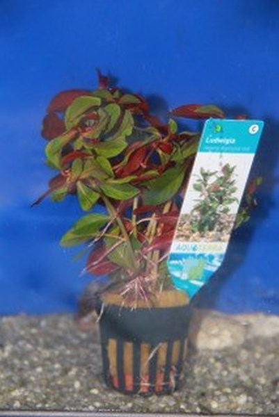 ludwigia repens diamond red
