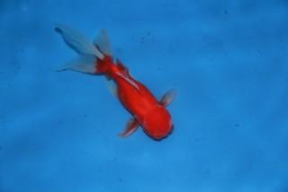 Oranda rouge 08-10cm