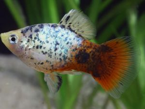 Platy coral blue calico 3,5-4cm