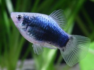 Platy coral blue 3,5-4cm