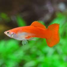 Guppy mâle rouge