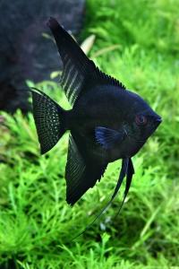 Maanvis zwart XXL in de aanbieding!