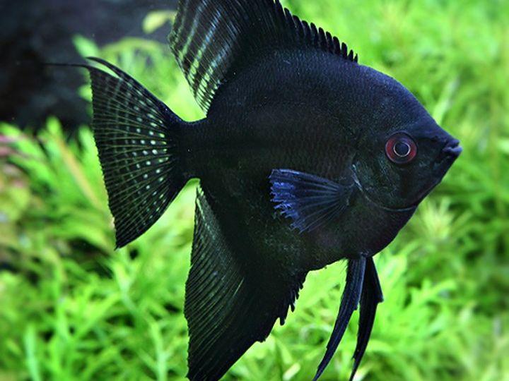 maanvis zwart