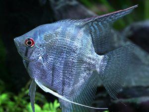 Maanvis halfgroen 6-8cm lot van 2 vissen