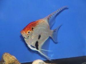 Maanvis koi 6-8cm lot van 2 vissen