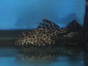 Zeilvin plecostomus 6-8cm