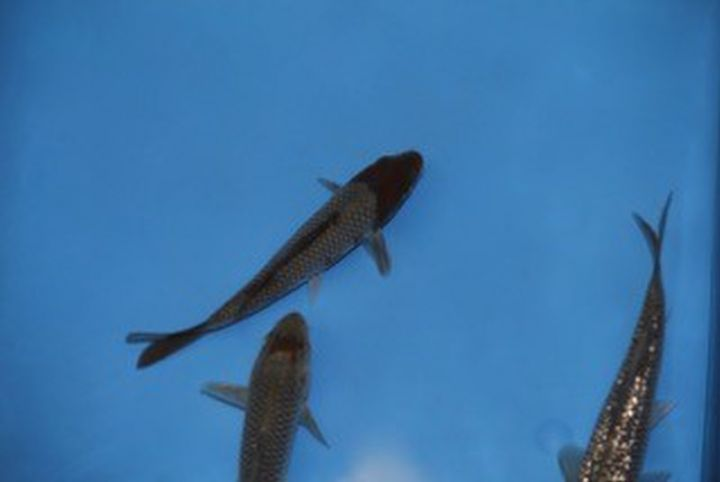 Koi ochiba 12 15cm est en vente chez poissons d 39 ornement for Koi papillon