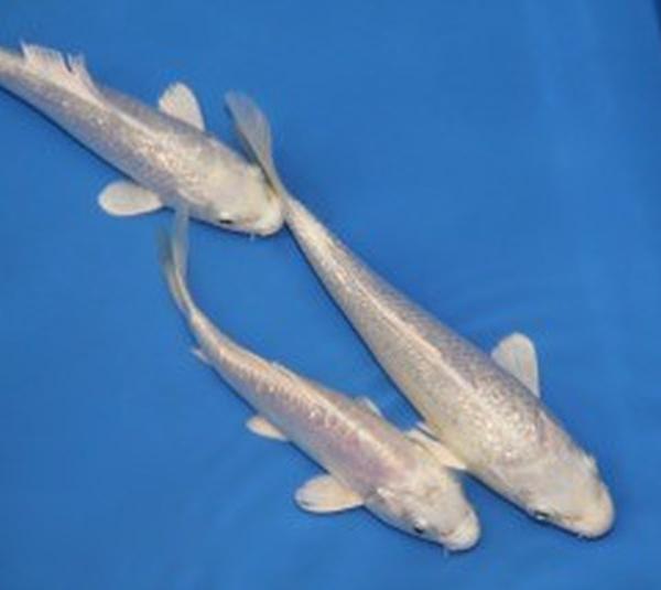 Koi platina 12 15cm est en vente chez poissons d 39 ornement for Koi vente en ligne