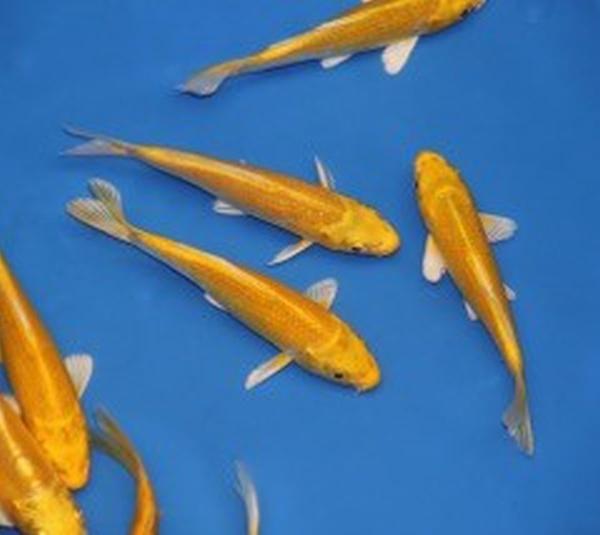Koi yamabuki 12 15cm est en vente chez poissons d 39 ornement for Koi vente en ligne