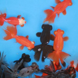 moor vlinderstaart HQ aquarium vis