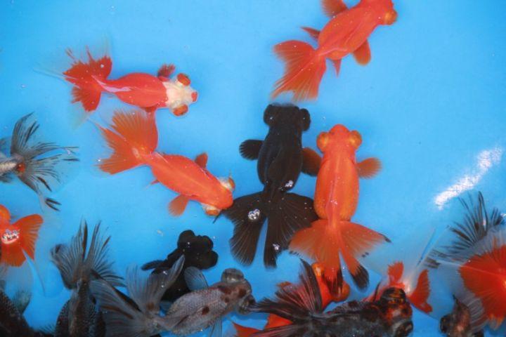 Tenir des poissons d 39 aquarium ou bassin est un hobby for Acheter poisson rouge grenoble