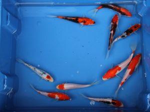 13-15cm koi doitsu (lederhuid) lot van 6 vissen
