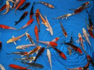 07-08cm koi AAA kwaliteit lot van 10 vissen